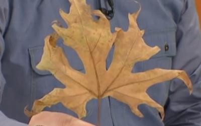 İbrahim Saraçoğlu çınar yaprağı kürü nasıl yapılır ?