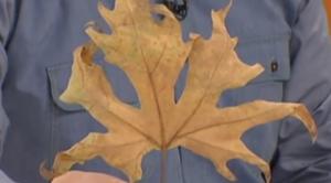 İbrahim Saraçoğlu çınar yaprağı kürü nasıl yapılır