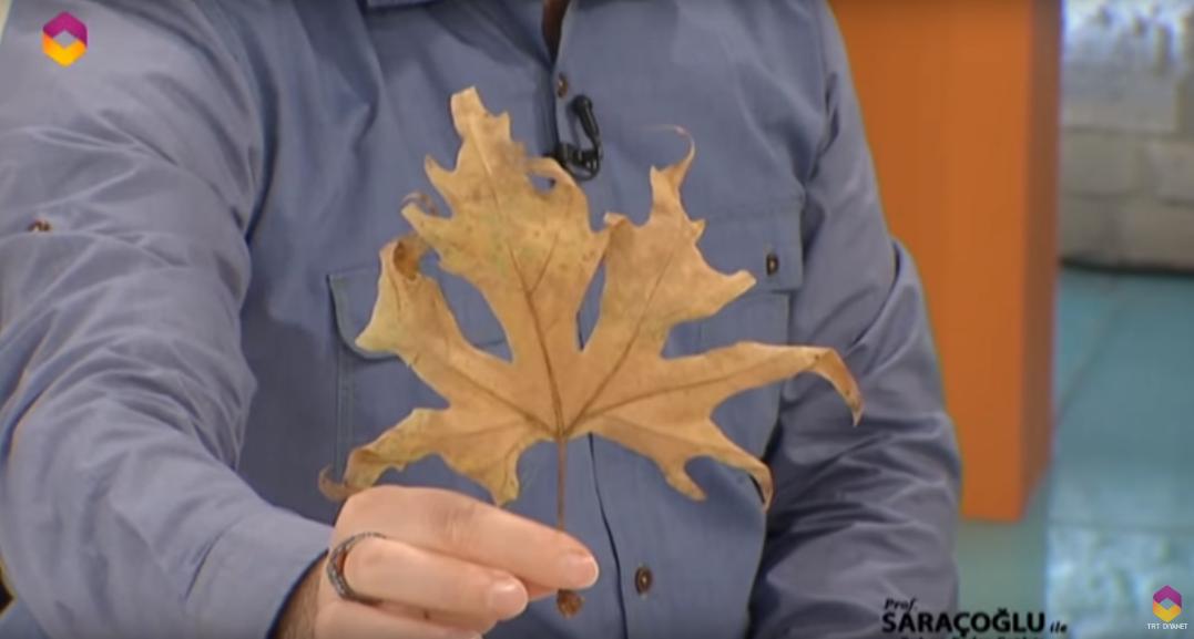 çınar yaprağı nasıl kullanılır